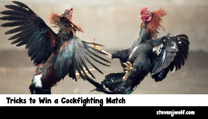 Tricks to Win a Cockfighting Match